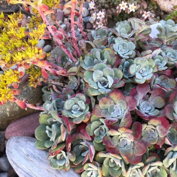 Talblehine kukehari 'Purpureum' P15 15cm