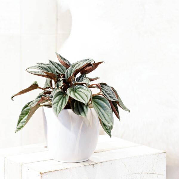 Peperoomia P10,5 15cm