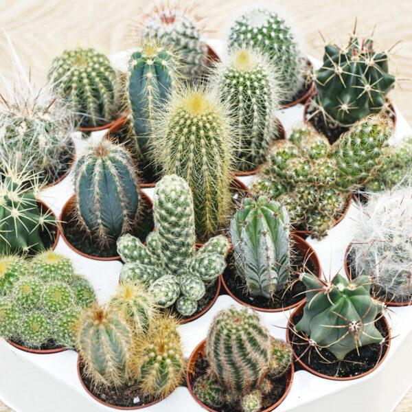 Kaktus valik P5,5 8cm