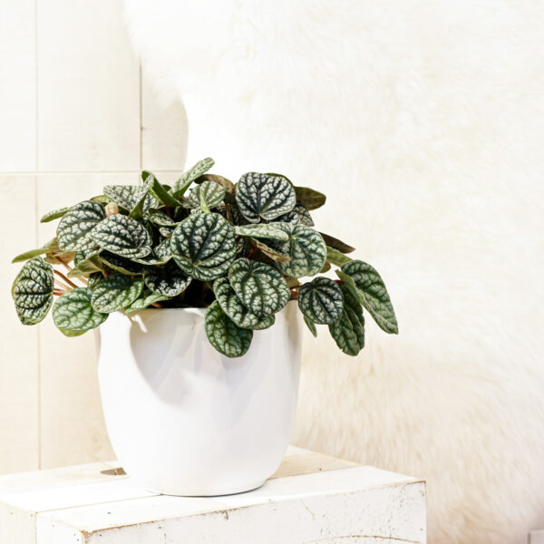 Peperoomia 'Burbella' P15 25cm